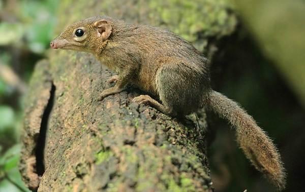 Тупайя-животное-Описание-особенности-виды-образ-жизни-и-среда-обитания-тупайи-6