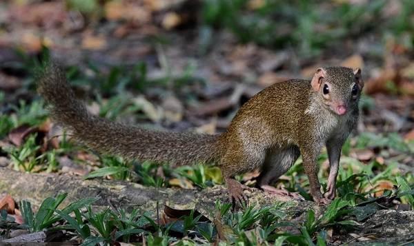 Тупайя-животное-Описание-особенности-виды-образ-жизни-и-среда-обитания-тупайи-7