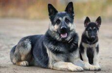 ВЕО порода собак. Описание, особенности, цена и уход за породой ВЕО