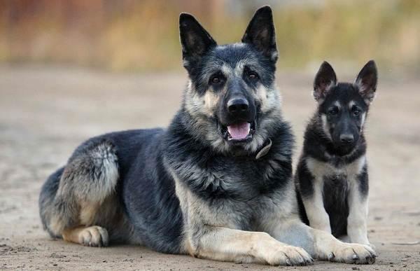 ВЕО-порода-собак-Описание-особенности-цена-и-уход-за-породой-ВЕО-1