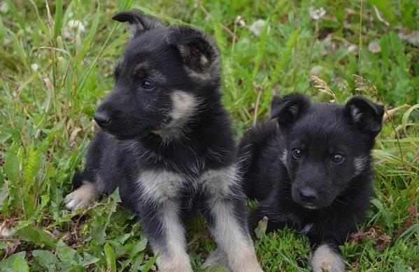 ВЕО-порода-собак-Описание-особенности-цена-и-уход-за-породой-ВЕО-10