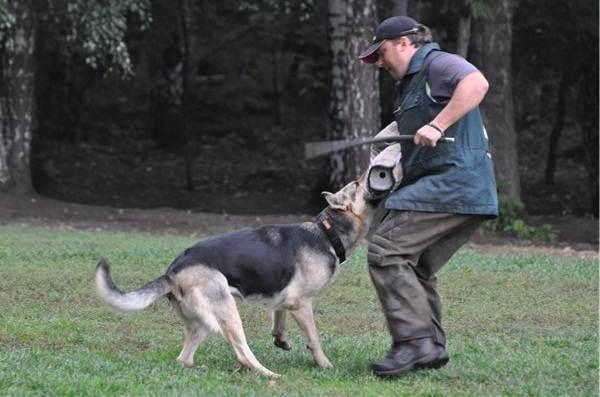 ВЕО-порода-собак-Описание-особенности-цена-и-уход-за-породой-ВЕО-11