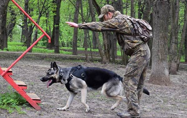 ВЕО-порода-собак-Описание-особенности-цена-и-уход-за-породой-ВЕО-12