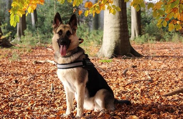 ВЕО-порода-собак-Описание-особенности-цена-и-уход-за-породой-ВЕО-16