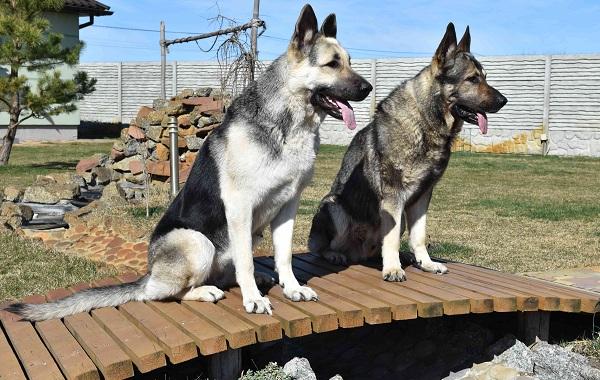 ВЕО-порода-собак-Описание-особенности-цена-и-уход-за-породой-ВЕО-17