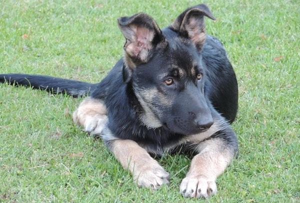 ВЕО-порода-собак-Описание-особенности-цена-и-уход-за-породой-ВЕО-20