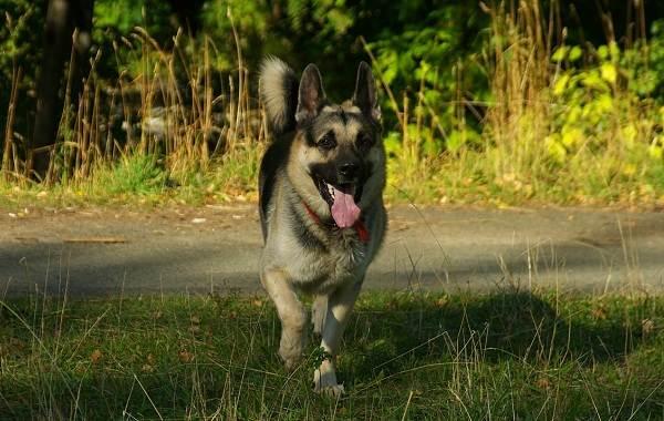 ВЕО-порода-собак-Описание-особенности-цена-и-уход-за-породой-ВЕО-3