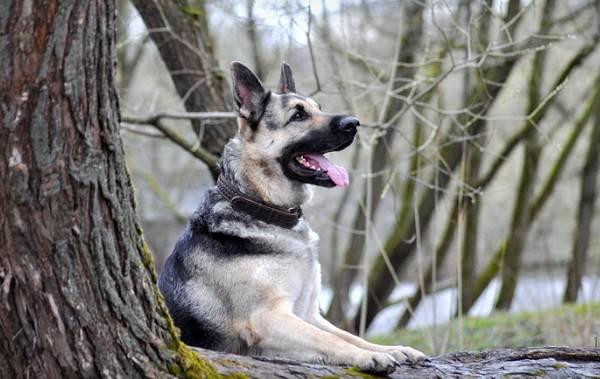 ВЕО-порода-собак-Описание-особенности-цена-и-уход-за-породой-ВЕО-4