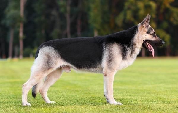 ВЕО-порода-собак-Описание-особенности-цена-и-уход-за-породой-ВЕО-5