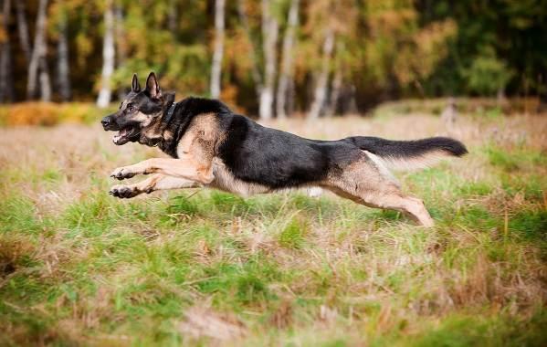 ВЕО-порода-собак-Описание-особенности-цена-и-уход-за-породой-ВЕО-7