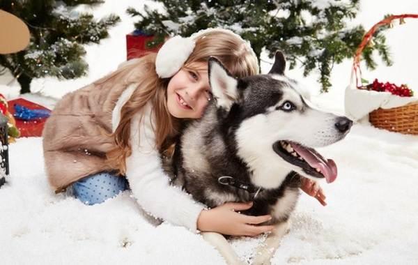 Хаски-порода-собак-Описание-особенности-цена-уход-и-содержание-хаски-10