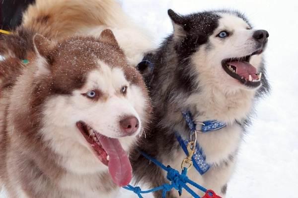 Хаски-порода-собак-Описание-особенности-цена-уход-и-содержание-хаски-11