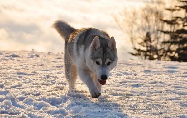 Хаски-порода-собак-Описание-особенности-цена-уход-и-содержание-хаски-12