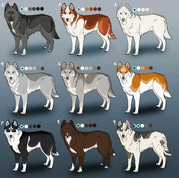 Хаски-порода-собак-Описание-особенности-цена-уход-и-содержание-хаски-14