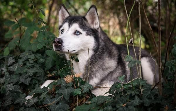 Хаски-порода-собак-Описание-особенности-цена-уход-и-содержание-хаски-15