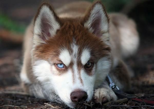Хаски-порода-собак-Описание-особенности-цена-уход-и-содержание-хаски-16
