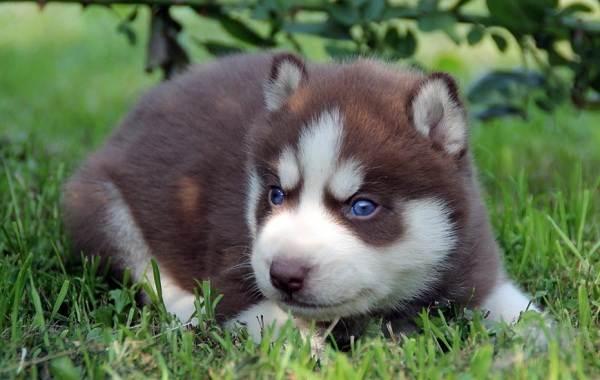 Хаски-порода-собак-Описание-особенности-цена-уход-и-содержание-хаски-17