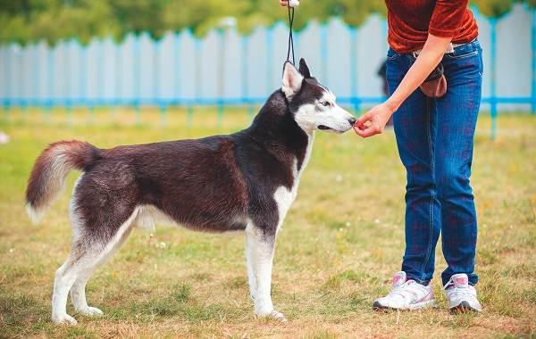 Хаски-порода-собак-Описание-особенности-цена-уход-и-содержание-хаски-18