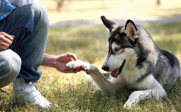 Хаски-порода-собак-Описание-особенности-цена-уход-и-содержание-хаски-19