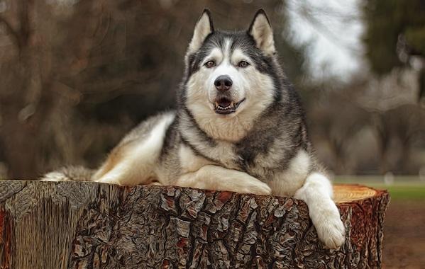 Хаски-порода-собак-Описание-особенности-цена-уход-и-содержание-хаски-20