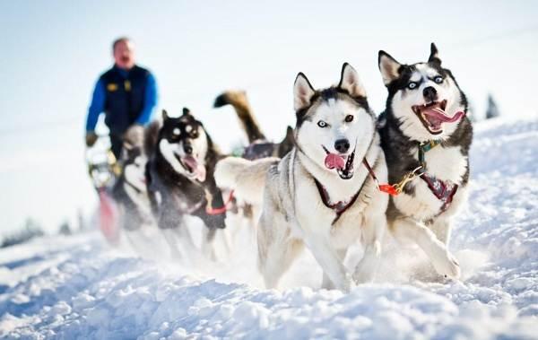 Хаски-порода-собак-Описание-особенности-цена-уход-и-содержание-хаски-4