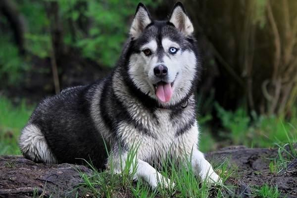 Хаски-порода-собак-Описание-особенности-цена-уход-и-содержание-хаски-5
