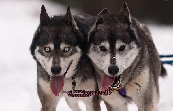 Хаски-порода-собак-Описание-особенности-цена-уход-и-содержание-хаски-6