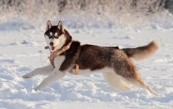 Хаски-порода-собак-Описание-особенности-цена-уход-и-содержание-хаски-8