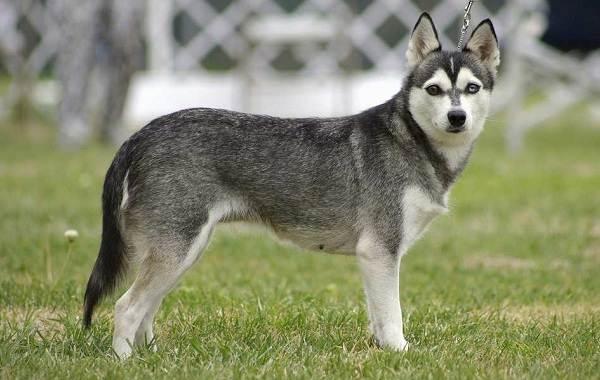 Хаски-порода-собак-Описание-особенности-цена-уход-и-содержание-хаски-9
