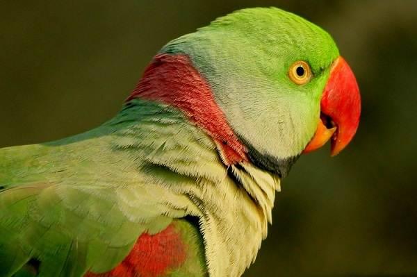 Александрийский-попугай-Описание-особенности-виды-цена-и-уход-за-птицей-1
