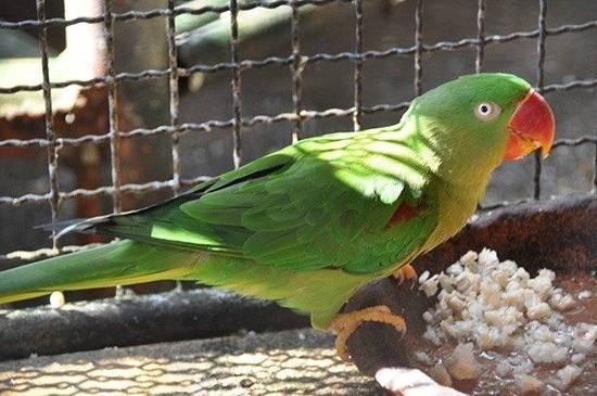Александрийский-попугай-Описание-особенности-виды-цена-и-уход-за-птицей-11