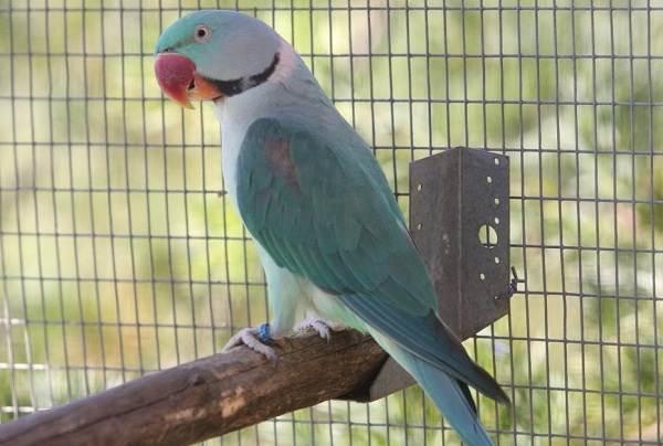 Александрийский-попугай-Описание-особенности-виды-цена-и-уход-за-птицей-12
