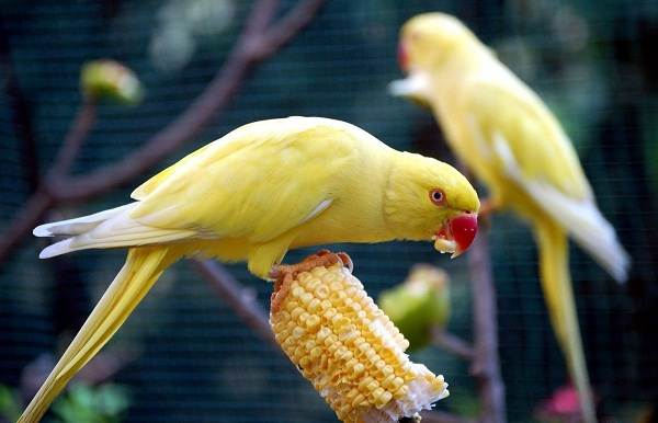 Александрийский-попугай-Описание-особенности-виды-цена-и-уход-за-птицей-13