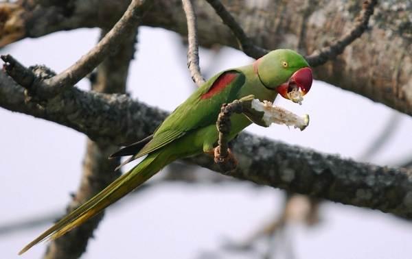 Александрийский-попугай-Описание-особенности-виды-цена-и-уход-за-птицей-14