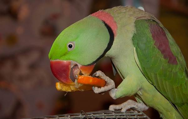Александрийский-попугай-Описание-особенности-виды-цена-и-уход-за-птицей-15