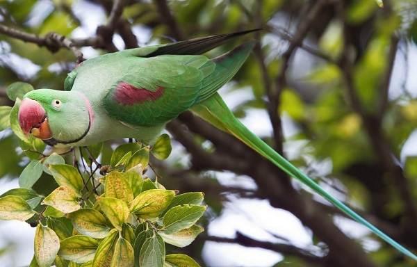 Александрийский-попугай-Описание-особенности-виды-цена-и-уход-за-птицей-2
