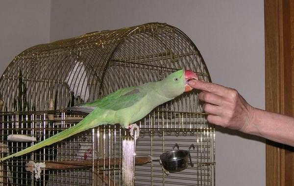 Александрийский-попугай-Описание-особенности-виды-цена-и-уход-за-птицей-22