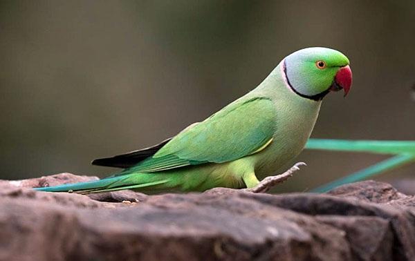 Александрийский-попугай-Описание-особенности-виды-цена-и-уход-за-птицей-27