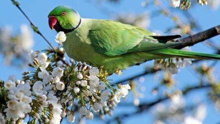 Александрийский попугай. Описание, особенности, виды, цена и уход за птицей
