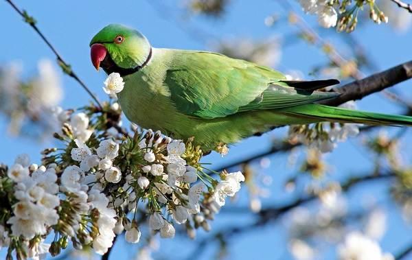 Александрийский-попугай-Описание-особенности-виды-цена-и-уход-за-птицей-3