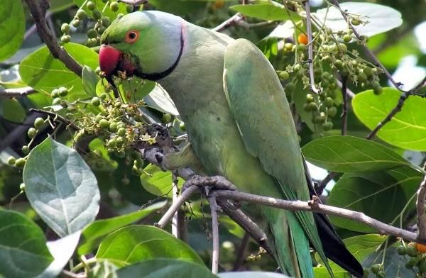 Александрийский-попугай-Описание-особенности-виды-цена-и-уход-за-птицей-4