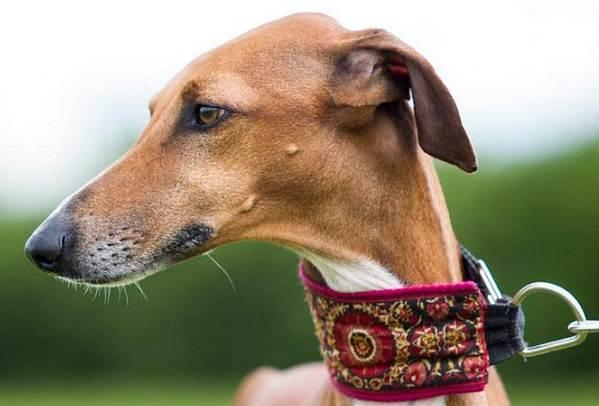 Азавак-собака-Описание-особенности-виды-уход-и-цена-породы-азавак-1