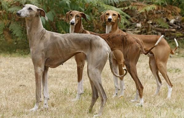Азавак-собака-Описание-особенности-виды-уход-и-цена-породы-азавак-11
