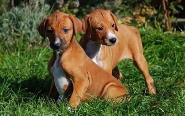 Азавак-собака-Описание-особенности-виды-уход-и-цена-породы-азавак-16