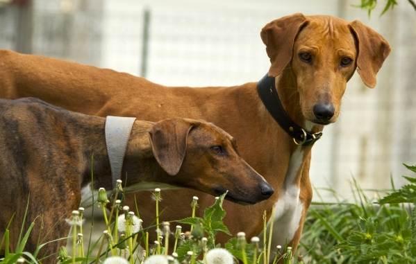 Азавак-собака-Описание-особенности-виды-уход-и-цена-породы-азавак-17