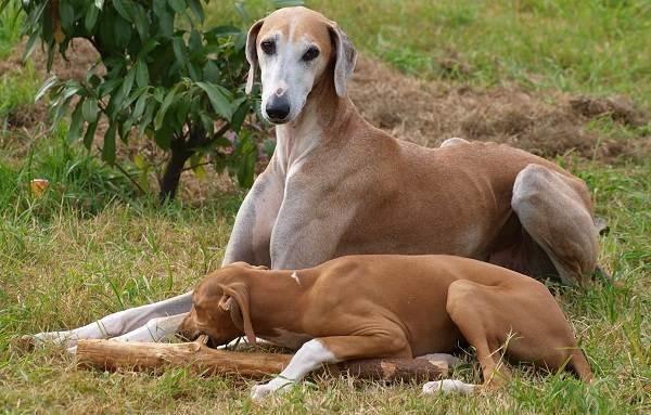 Азавак-собака-Описание-особенности-виды-уход-и-цена-породы-азавак-4