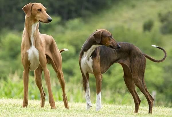 Азавак-собака-Описание-особенности-виды-уход-и-цена-породы-азавак-8