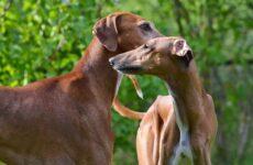 Азавак собака. Описание, особенности, виды, уход и цена породы азавак