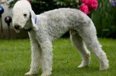 Бедлингтон терьер собака. Описание, особенности, виды, уход и цена бедлингтон терьера