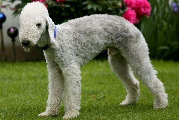 Бедлингтон-терьер-собака-Описание-особенности-виды-уход-и-цена-бедлингтон-терьера-1